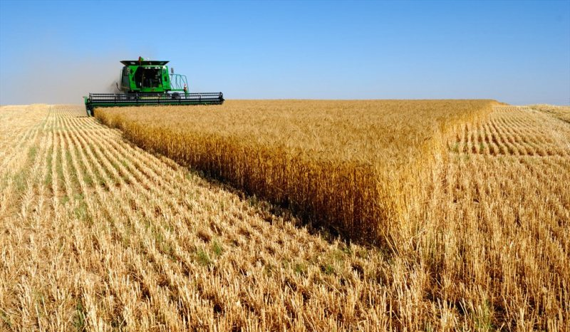 کاشت گندم و مراحل آن