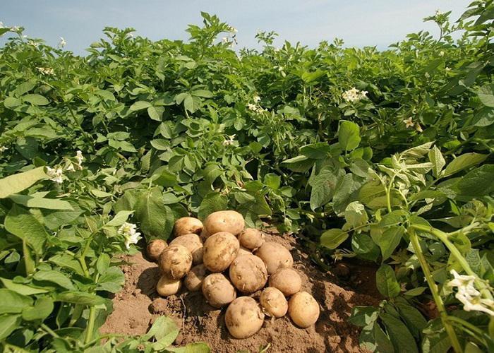 کاشت سیب زمینی چگونه است؟